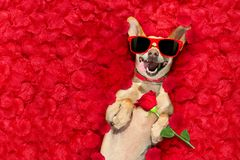 Valentines dog   with  rose petals Stock Photo