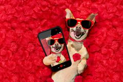 Valentines dog with rose petals stock images