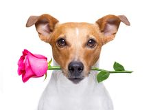 Free Valentines Dog With A Rose Stock Image - 116365791