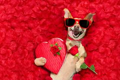 Valentines Dog With Rose Petals Stock Photos