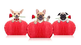 Valentines dogs. Valentines  group of dogs holding a  red rose with mouth ,isolated on white background Royalty Free Stock Images