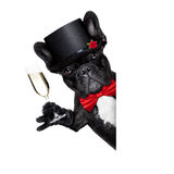 Valentines Groom Dog Royalty Free Stock Photography