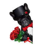 Valentines groom dog. Valentines french bulldog dog holding a bunch of red roses besides a white and blank banner , isolated on white background Stock Image
