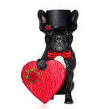 Valentines groom dog Royalty Free Stock Images