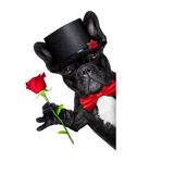 Valentines groom dog. Valentines french bulldog dog holding a red rose besides a white and blank banner , isolated on white background Royalty Free Stock Photos