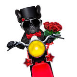 Valentines groom dog. Valentines french bulldog dog , riding a motorbike , holding a bunch of red roses, isolated on white background Royalty Free Stock Image