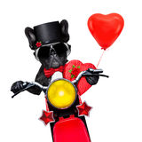 Valentines groom dog. Valentines french bulldog dog , riding a motorbike, holding a present or gift and a red balloon  , isolated on white background Stock Image