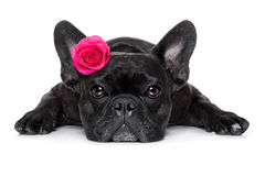 Valentines love sick dog. French bulldog  dog looking and staring at you   ,while lying on the ground or floor, with a valentines rose on head and on floor Stock Photography