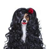 Valentines in love spanish lola dog stock image