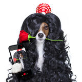 Valentines in love spanish lola dog Stock Photos