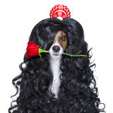 Valentines in love spanish lola dog Stock Photography