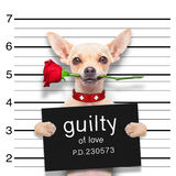 Valentines  mugshot dog. Valentines chihuahua dog with rose in mouth as a mugshot guilty for love Royalty Free Stock Image