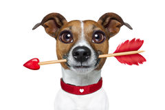 Valentines rarrow dog. Valentines  french bulldog dog in love holding arrow with mouth , isolated on white background Royalty Free Stock Photo