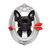 Valentines rose dog. Valentines french bulldog dog in love holding a cupids arrow with mouth in a retro wood frame isolated on white background Royalty Free Stock Photo