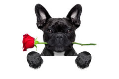 Valentines rose dog. Valentines  french bulldog dog in love holding a rose with mouth behind a blank empty blackboard or placard, isolated on white background Royalty Free Stock Photography