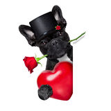 Valentines rose dog. Valentines  french bulldog dog in love holding a rose with mouth behind a blank empty blackboard or placard, isolated on white background Stock Photography