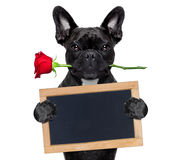 Valentines rose dog. Valentines  french bulldog dog in love holding a rose with mouth and a blank empty blackboard or placard, isolated on white background Stock Photography