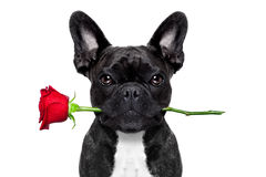 Valentines rose dog Stock Photography