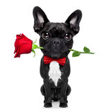 Valentines rose dog. Valentines  french bulldog dog in love holding a rose with mouth , isolated on white background Stock Photos