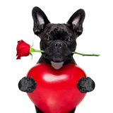 Valentines rose dog Stock Images