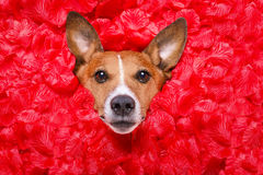 Valentines roses d'amour de chien Photo libre de droits