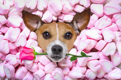 Valentines roses d'amour de chien Photo stock