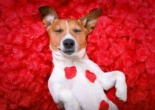 Valentines roses d'amour de chien Image stock