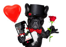 Valentines selfie dog. Valentines french bulldog dog holding a red rose with one hand , taking a selfie with the other , isolated on white background Stock Photos