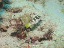 Valentini Puffer fish Royalty Free Stock Photo