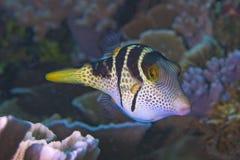 Valentini Pufferfish Royalty Free Stock Image