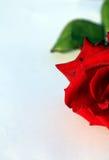 Valentinsgruß rote Rose Lizenzfreie Stockfotos