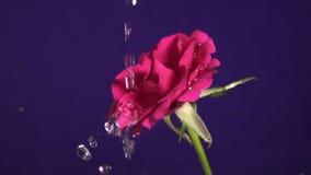 Valentinsgruß ` s Tag rosafarben und Wasserspritzen, Zeitlupe stock footage
