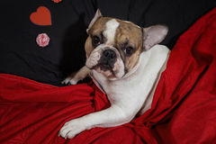 Valentinsgruß ` s Tagesfranzösische Bulldogge Stockbilder