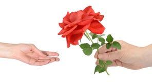 Valentinsgrußgruß, eine rote Rose gebend und annehmen stockfotografie