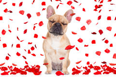 Valentinsgrußtageshund verrückt in der Liebe Lizenzfreies Stockfoto