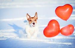 Valentinsgrußtageskonzept: glücklicher Hund mit geformten roten Ballonen des Herzens stockfotografie