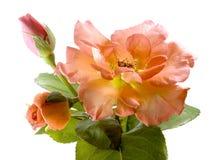 Valentinsgrußtagesrose- und -Rosebudskartenhintergrund Lizenzfreie Stockbilder
