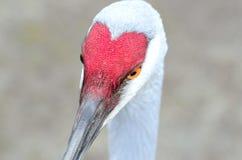Valentinsgrußvogel Lizenzfreie Stockfotografie