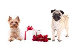 Valentinstag - Yorkshire-Terrier und Pughund mit der Geschenkbox Stockbild