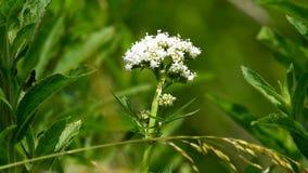 Valeriaan, geneeskrachtig kruid met bloem stock videobeelden