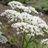 Valerian. Flowers blooming in close up Stock Photos