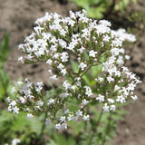 Valerian. Flowers blooming in close up Royalty Free Stock Image