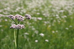 Valerian royalty free stock photo