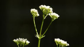 Valerian, closeup of the flower stock video footage