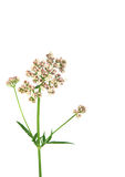 Valerian Flower. Modern day equivalent in medicine is the drug valium Royalty Free Stock Photography