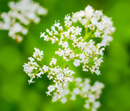 Valerian flower with an insect, green blurred background Royalty Free Stock Image