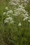 Valerian Stock Photography