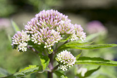 Valerian flowers. Royalty Free Stock Photos