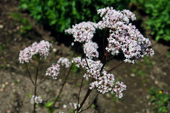 Valerian flowers Stock Photos