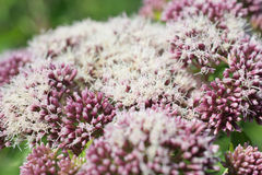 Valerian flowers. Stock Photography